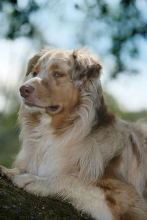 red-merle Australian shepherd dog photo