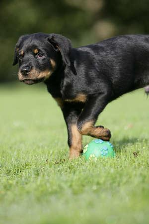 puppy playing ball photo