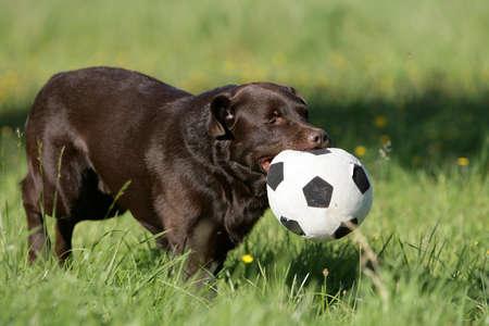 perro labrador: Labrador marr�n jugando al f�tbol