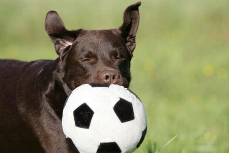 brown Labrador retriever with football