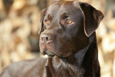 Brown Labrador retriever dog Banque d'images