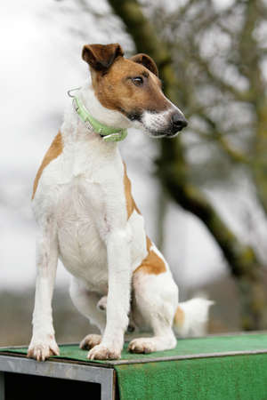 sitting fox terrier photo