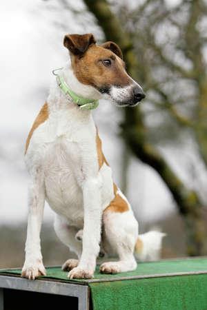 short haired: sitting fox terrier