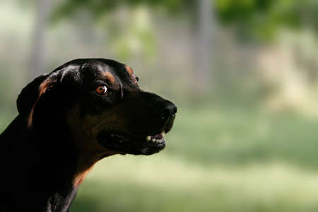 doberman dog photo