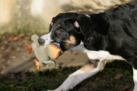 pert: puppy holding a dog-toy