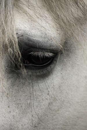 whitehorse: Eye of a whitehose Stock Photo