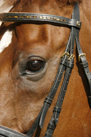 bridle: Close-up of the eye of a brown horse