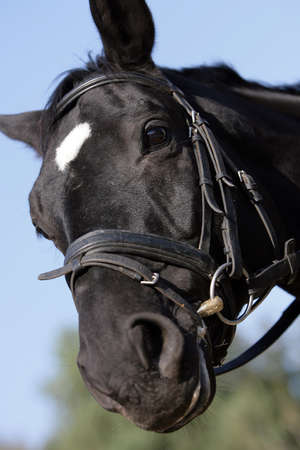warmblood: portrait of a curious Hessian warmblood horse Stock Photo
