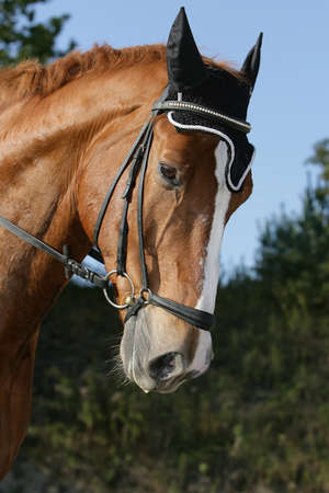 warmblood: Hessian warmblood horse