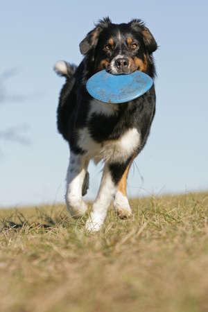 Australian shepherd with frisbee
