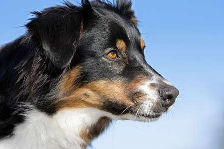 australian shepherd dog Banque d'images