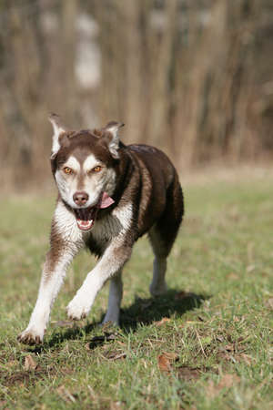 wild running dog