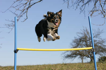 flying australian shepherd dog