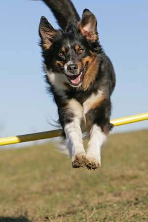 mujer perro: saltando pastor australiano Foto de archivo