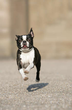 dog running: flying boston terrier