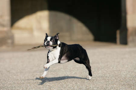 running boston terrier photo