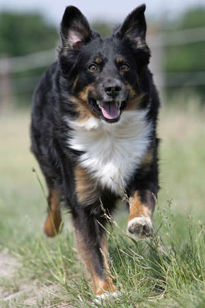 running Australian shepherd dog