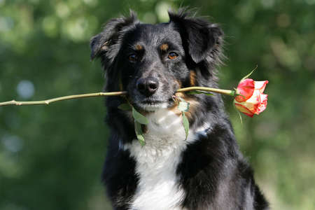 Australian shepherd with a rose in its mouth