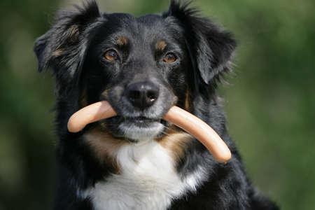 Australian shepherd with wienerwurst photo