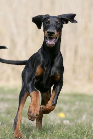 running Doberman puppy