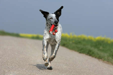 funny running dog