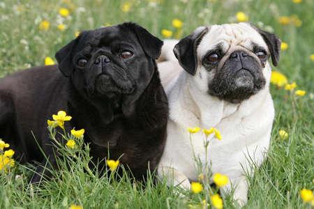 pair of cute pugs photo