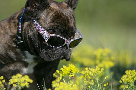 bulldog with sunglasses