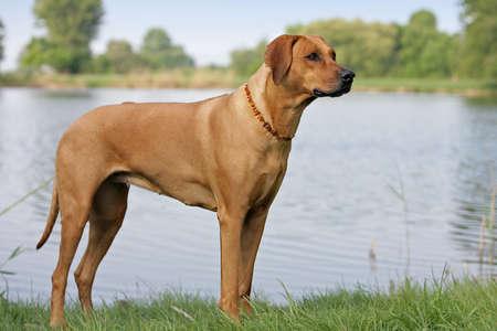 standing rhodesian ridgeback dog
