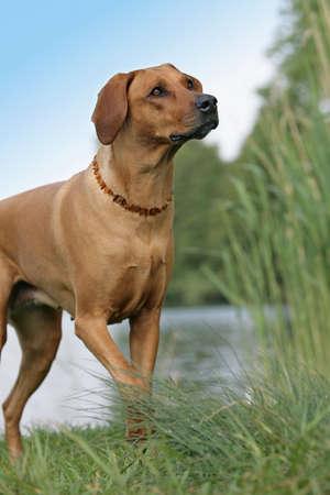 brown haired: rhodesian ridgeback dog