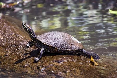 노란색 배 불 뚝이 슬라이더 Tortuguero - 코스타리카 일광욕 거북 스톡 콘텐츠