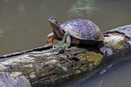 A River Turtle met a running lizard on a log in natural rainforest canal at Tortuguero National Park - Costa Rica Banque d'images