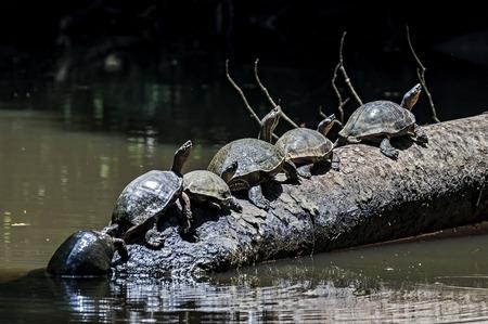 Schildpadden in lijn op een boomboomstam bij Tortuguero Nationaal Park