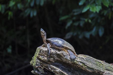 River Turtle sunbathing at Tortuguero - Costa Rica