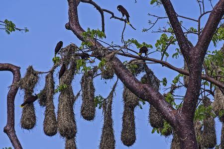 Group of Psarocolius decumanus nesting in Cosa Rica