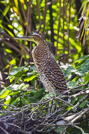 Juvenile Bare-throated Tiger Heron in Tortuguero