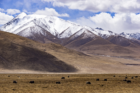 Typical mountain landscape with tibetan yaks and snow on peaks - Tibet