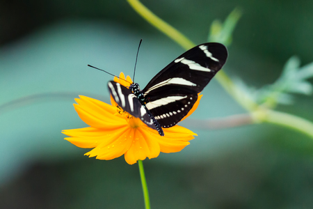 Close-up on Zebra Longwing, Heliconius Charitonia, Butterfly - Costa Rica Stock Photo