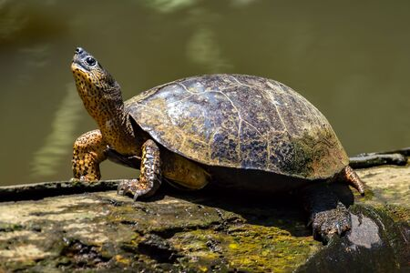 A River Turtle on a log in natural rainforest canal at Tortuguero National Park - Costa Rica Stock Photo