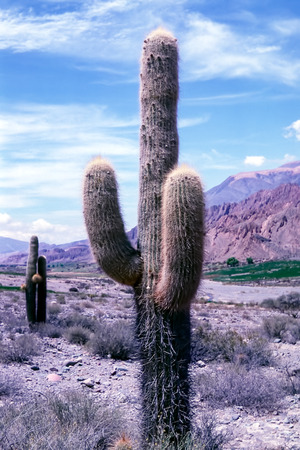 Cactus in Jujuy Province - Northern Argentina. Echinopsis atacamensis (cardon) is a species of cactus from Chile, Argentina and Bolivia.
