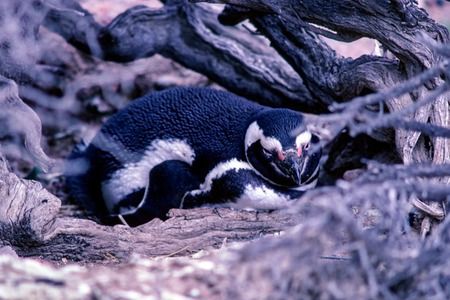 Magellanic Penguin nesting in Peninsula Valdes - Argentina. Penguins can be found in 3 different colonies (Punta Tombo, Punta Norte and Punta Delgada) along the coast of Peninsula Valdes.
