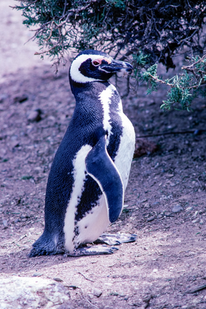 Magellanic Penguin in Peninsula Valdes - Argentina. Penguins can be found in 3 different colonies (Punta Tombo, Punta Norte and Punta Delgada) along the coast of Peninsula Valdes. Stock Photo