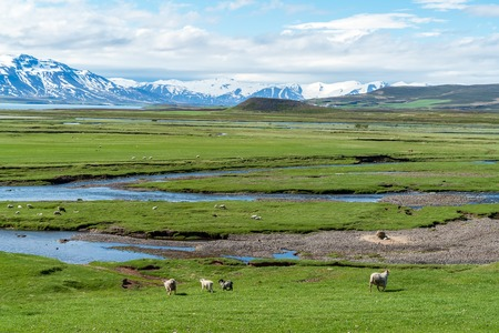 Icelandic landscape full of sheeps with snowy mountain in background - Iceland
