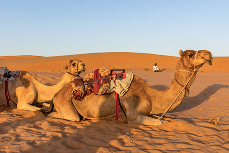 Camels resting on the ground at sunset - Oman desert