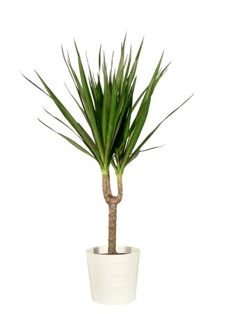 Dracaena in a pot the isolated photo