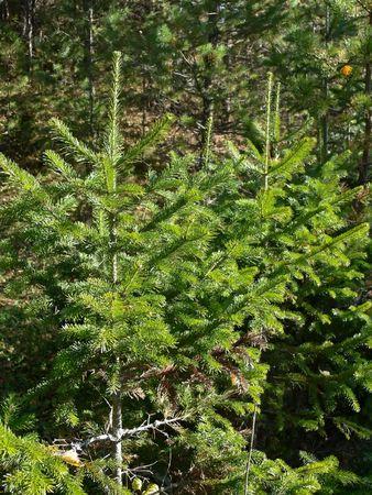 taiga: two small fur-trees in taiga