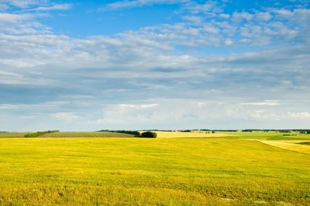Yellow field, crop and the dark blue sky. photo