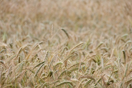 Backgroung from a wheaten field, small focus photo