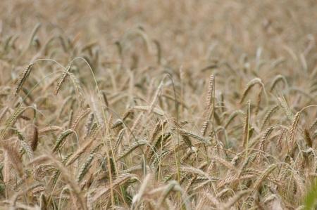 Wheaten field, small DOF, cluse up  photo