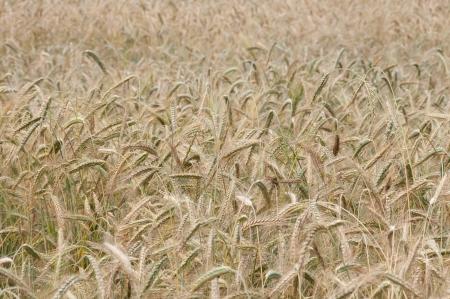 Wheaten field, fullframe, small focus photo