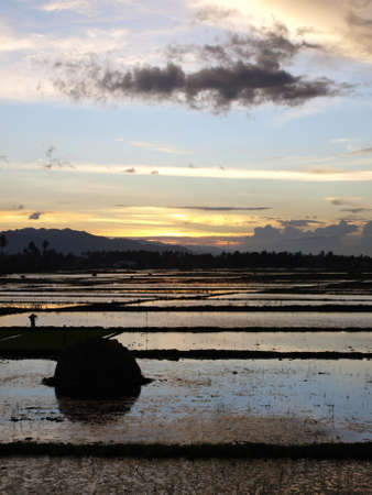 rice fields in the evening Stock Photo - 9586370